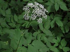 Vuohenputki. Parhaimmillaan vuohenputki on toukokuussa, ennen kukintaa, mutta pieniä ja keskikokoisia lehtiä voi syödä läpi kesän. Ruuaksi sopivat vihreät lehdet, niissä on mieto ja herkullinen maku.
